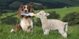 dog-lamb-589x295