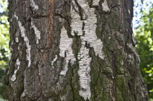 silver-birch-bark_medium