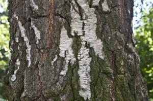 silver-birch-bark_medium